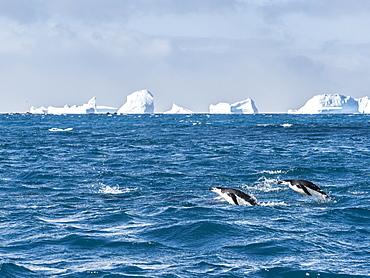 Adult chinstrap penguins (Pygoscelis antarcticus) porpoising through the sea in Cooper Bay, South Georgia, Polar Regions