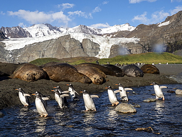 Adult gentoo penguins (Pygoscelis papua), near elephant seals in Gold Harbor, South Georgia, Polar Regions