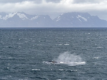 Adult blue whale (Balaenoptera musculus) feeding in Right Whale Bay, South Georgia, Polar Regions