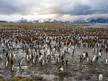 King penguin (Aptenodytes patagonicus) breeding colony at Salisbury Plain, South Georgia, Polar Regions