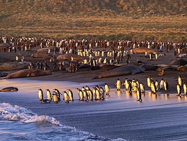 Sunrise on king penguin (Aptenodytes patagonicus) breeding colony at Gold Harbor, South Georgia, Polar Regions