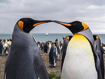 Adult King penguin (Aptenodytes patagonicus) breeding colony at Gold Harbor, South Georgia, Polar Regions