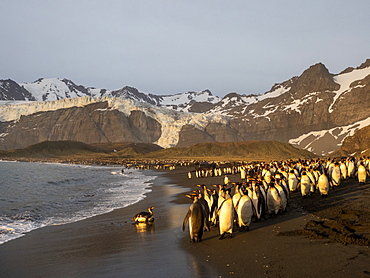 Sunrise on king penguin (Aptenodytes patagonicus) breeding colony at Gold Harbor, South Georgia, Polar Regions