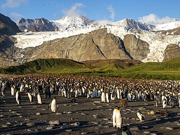 King penguins (Aptenodytes patagonicus) at breeding colony in Gold Harbor, South Georgia, Polar Regions