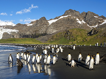 King penguin (Aptenodytes patagonicus) adults returning to sea for feeding in Gold Harbor, South Georgia, Polar Regions