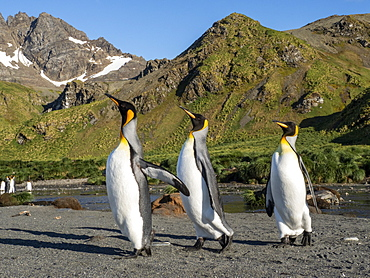 King penguin (Aptenodytes patagonicus) adults establishing partners at breeding colony in Gold Harbor, South Georgia, Polar Regions