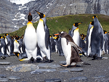 Adult gentoo penguin (Pygoscelis papua), on the beach with king penguins in Gold Harbor, South Georgia, Polar Regions