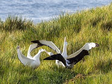 Wandering albatross (Diomedea exulans) trio in courtship display on Prion Island, Bay of Isles, South Georgia, Polar Regions