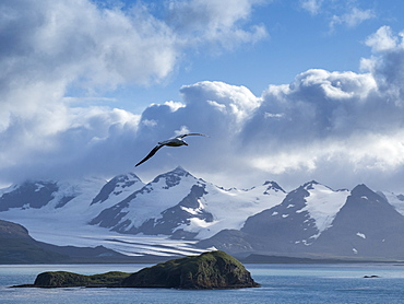 Adult wandering albatross (Diomedea exulans) in flight near Prion Island, Bay of Isles, South Georgia, Polar Regions