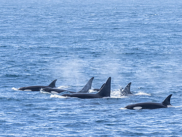 A pod of Type A killer whales (Orcinus orca), surfacing off the northwest coast of South Georgia, Polar Regions