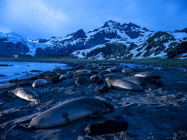 Pre-dawn light on elephant seals (Mirounga leoninar), at breeding beach in Gold Harbor, South Georgia, Polar Regions