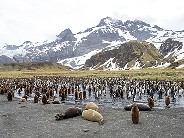 Southern elephant seal (Mirounga leoninar) weaners at breeding beach in Gold Harbor, South Georgia, Polar Regions