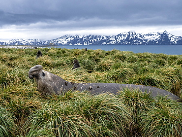 Southern elephant seal bull (Mirounga leoninar), in the tussah grass at Salisbury Plain, South Georgia, Polar Regions