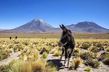 Wild burros (Equus africanus asinus) in front of Licancabur stratovolcano, Andean Central Volcanic Zone, Chile, South America