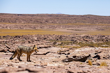 Adult Andean fox (Lycalopex culpaeus) near its den in the Andean Central Volcanic Zone, Antofagasta Region, Chile, South America