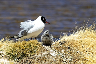 An adult Andean gull (Chroicocephalus serranus), with chick near its nest, Andean Central Volcanic Zone, Chile, South America