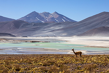 Adult vicuna (Vicugna vicugna), in the Andean Central Volcanic Zone, Antofagasta Region, Chile, South America