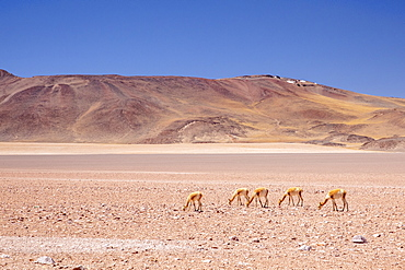Adult vicunas (Vicugna vicugna), in the Andean Central Volcanic Zone, Antofagasta Region, Chile, South America