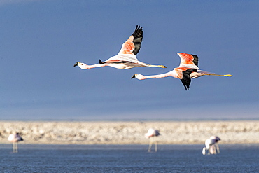 Andean flamingos (Phoenicoparrus andinu), in flight at Llano de Solaren, Los Flamencos National Reserve, Chile, South America