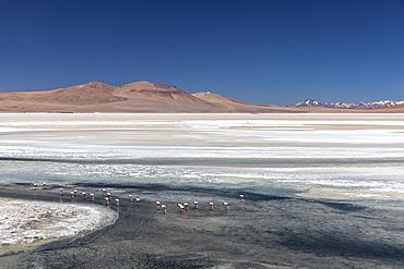 Andean flamingos (Phoenicoparrus andinus), Laguna Tara, Los Flamencos National Reserve, Antofagasta Region, Chile, South America.