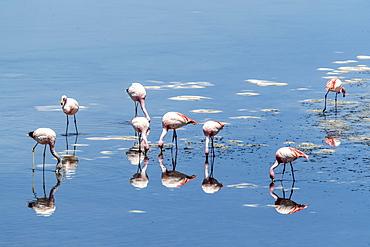 James's flamingos (Phoenicoparrus jamesi), Laguna Tara, Los Flamencos National Reserve, Antofagasta Region, Chile, South America
