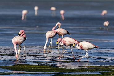 James's flamingos (Phoenicoparrus jamesi), Salar de Tara y Aguas Calientes I, Los Flamencos National Reserve, Chile, South America