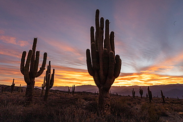 Sunset on Argentine saguaro cactus (Echinopsis terscheckii), Los Cardones National Park, Salta Province, Argentina, South America