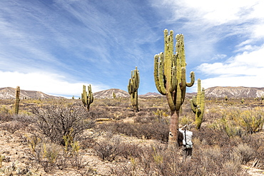 Photographer with Argentine saguaro cactus (Echinopsis terscheckii), Los Cardones National Park, Salta Province, Argentina, South America