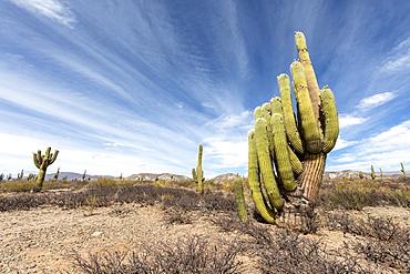 Argentine saguaro cactus (Echinopsis terscheckii), Los Cardones National Park, Salta Province, Argentina, South America