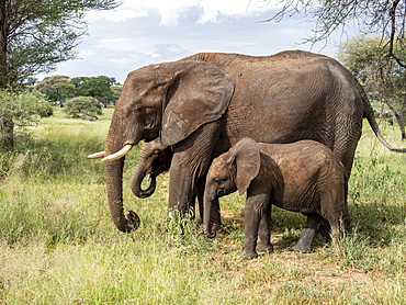 African bush elephant (Loxodonta africana), mother and calves, Tarangire National Park, Tanzania, East Africa, Africa