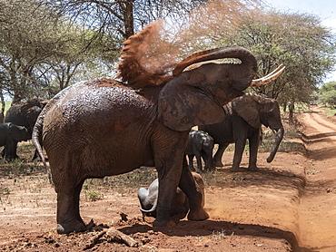 African bush elephants (Loxodonta africana), taking a dust bath, Tarangire National Park, Tanzania, East Africa, Africa
