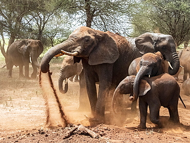 African bush elephants (Loxodonta africana), taking a dust bath, Tarangire National Park, Tanzania, East Africa, Africa