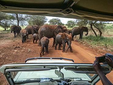 African bush elephants (Loxodonta africana), taking a dust bath in Tarangire National Park, Tanzania, East Africa, Africa