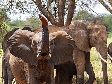 A young African bush elephant (Loxodonta africana), Tarangire National Park, Tanzania, East Africa, Africa