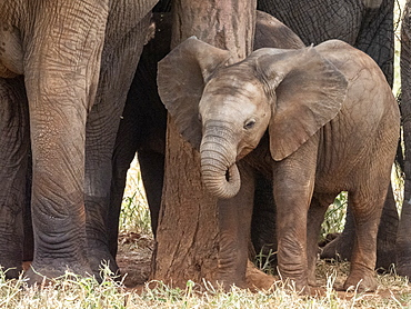 A herd of African bush elephants (Loxodonta africana), protecting a newborn calf in Tarangire National Park, Tanzania, East Africa, Africa