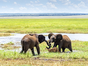 Young African bush elephants (Loxodonta africana), playing in the water, Tarangire National Park, Tanzania, East Africa, Africa