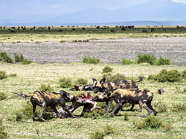 African wild dogs (Lycaon pictus), feeding on a wildebeest calf kill in Serengeti National Park, Tanzania, East Africa, Africa