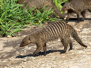 A pack of banded mongooses (Mungos mungo), near their den site in Tarangire National Park, Tanzania, East Africa, Africa