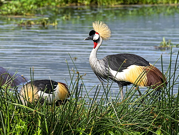 Adult African crowned crane (Balearica regulorum), Ngorongoro Crater, Tanzania, East Africa, Africa