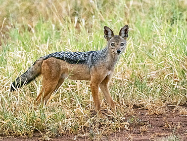 An adult black-backed jackal (Lupulella mesomelas), Tarangire National Park, Tanzania, East Africa, Africa