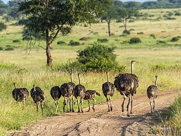A flock of Masai ostriches (Struthio camelus massaicus), Tarangire National Park, Tanzania, East Africa, Africa