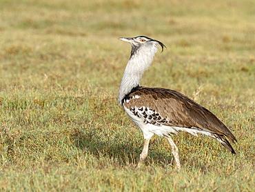 Adult kori bustard (Ardeotis kori), Ngorongoro Crater, Tanzania, East Africa, Africa