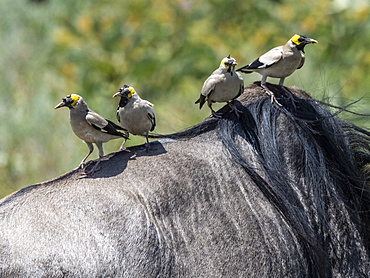 Adult wattled starlings (Creatophora cinerea), on the back of a wildebeest in Serengeti National Park, Tanzania, East Africa, Africa
