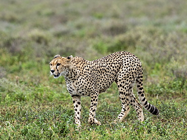 Adult cheetah (Acinonyx jubatus), stalking the Great Migration in Serengeti National Park, Tanzania, East Africa, Africa