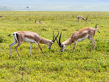 Adult male Grant's gazelles (Nanger granti) sparring inside Ngorongoro Crater, UNESCO World Heritage Site, Tanzania, East Africa, Africa