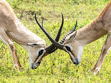 Adult male Grant's gazelles (Nanger granti) sparring inside Ngorongoro Crater, Tanzania, East Africa, Africa