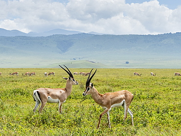 Adult male Grant's gazelles (Nanger granti), inside Ngorongoro Crater, UNESCO World Heritage Site, Tanzania, East Africa, Africa