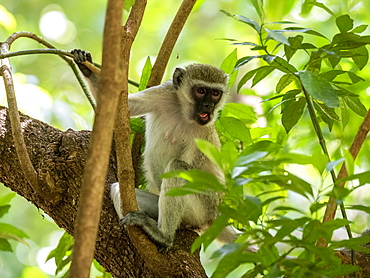 Vervet monkey (Chlorocebus pygerythrus), Lake Manyara National Park, Tanzania, East Africa, Africa