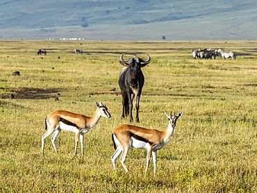 Thomson's gazelles (Eudorcas thomsonii), in Ngorongoro Crater, UNESCO World Heritage Site, Tanzania, East Africa, Africa