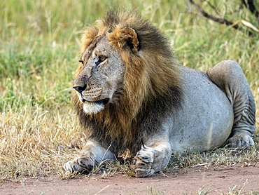 An adult male lion (Panthera leo), Tarangire National Park, Tanzania, East Africa, Africa